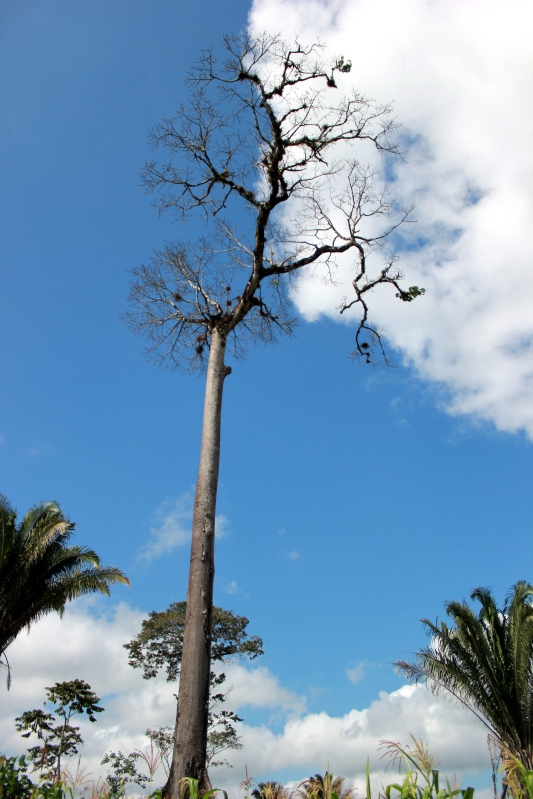 The mighty Ceiba tree