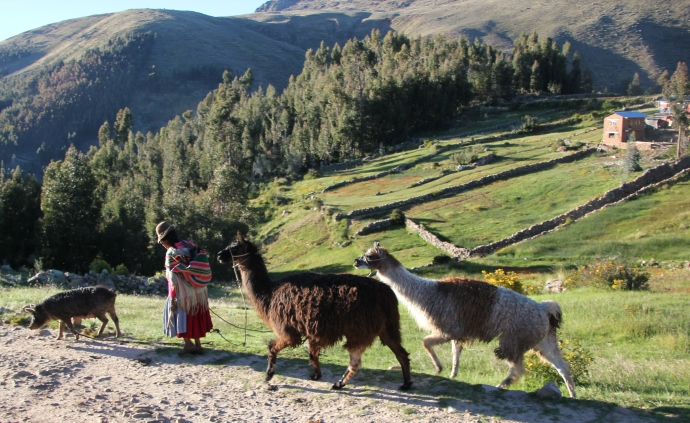 Heifer 12x12 Peru