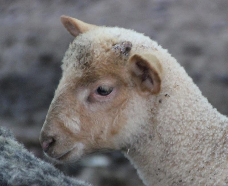 Chubby little lamb