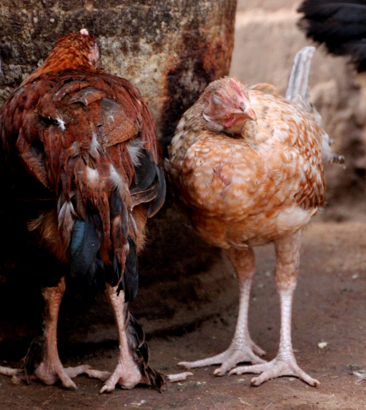 Two sick chicks, not long for this world.
