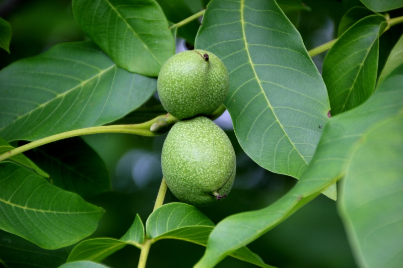 Green walnuts (used in a favorite jam)