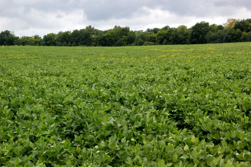 Soybeans, as far as the eye can see...