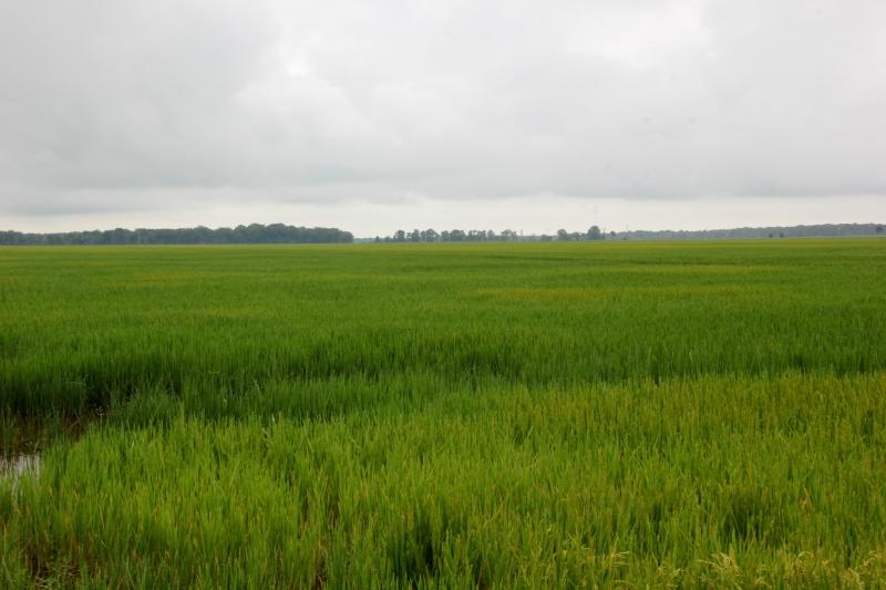 Delta rice
