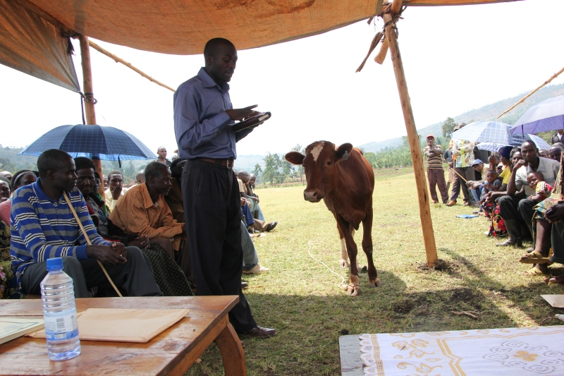 This Heifer heifer walked right into the ceremony & nobody batted an eye!