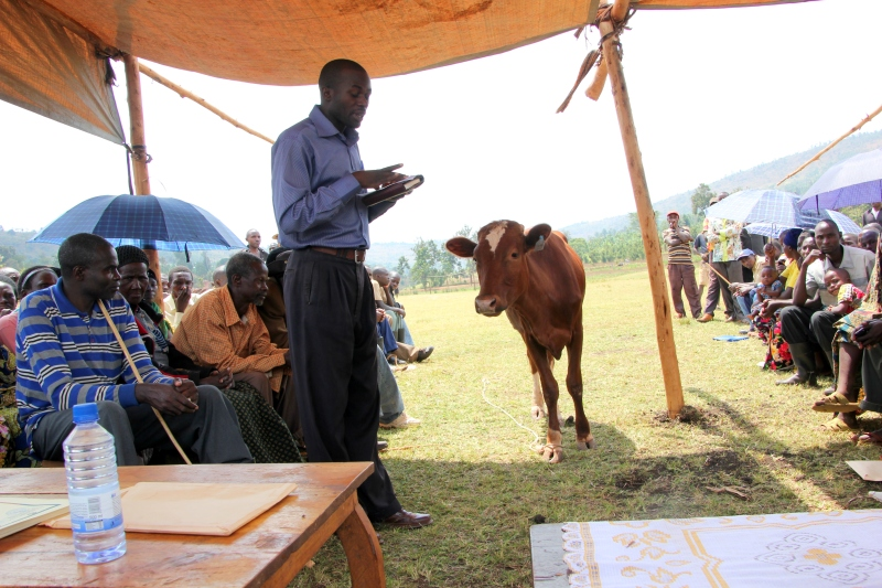 This Heifer heifer walked right into the ceremony & nobody batted an eye.