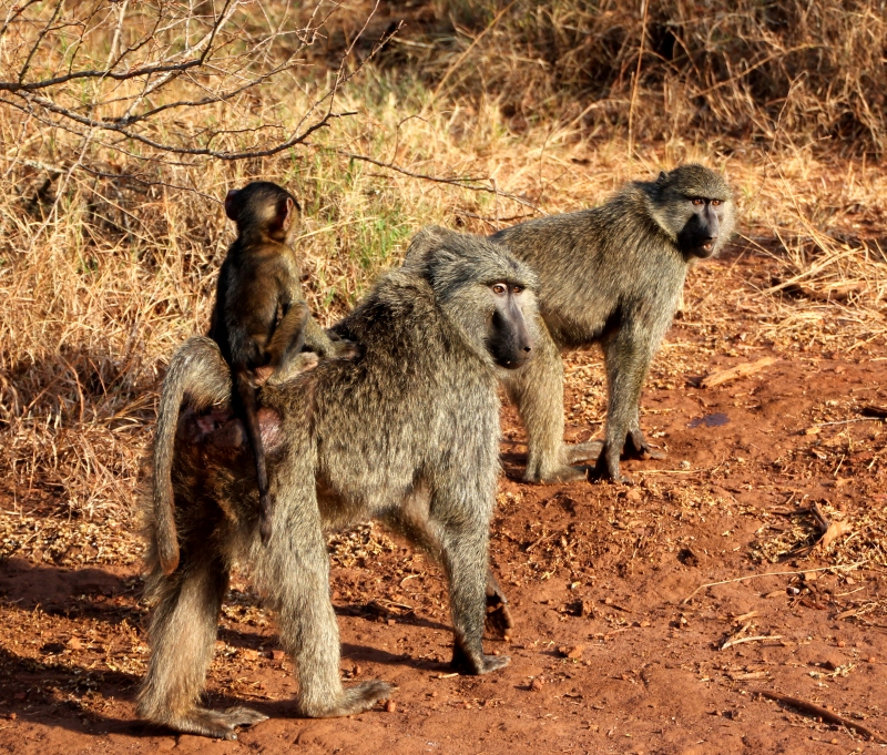 baboons walk