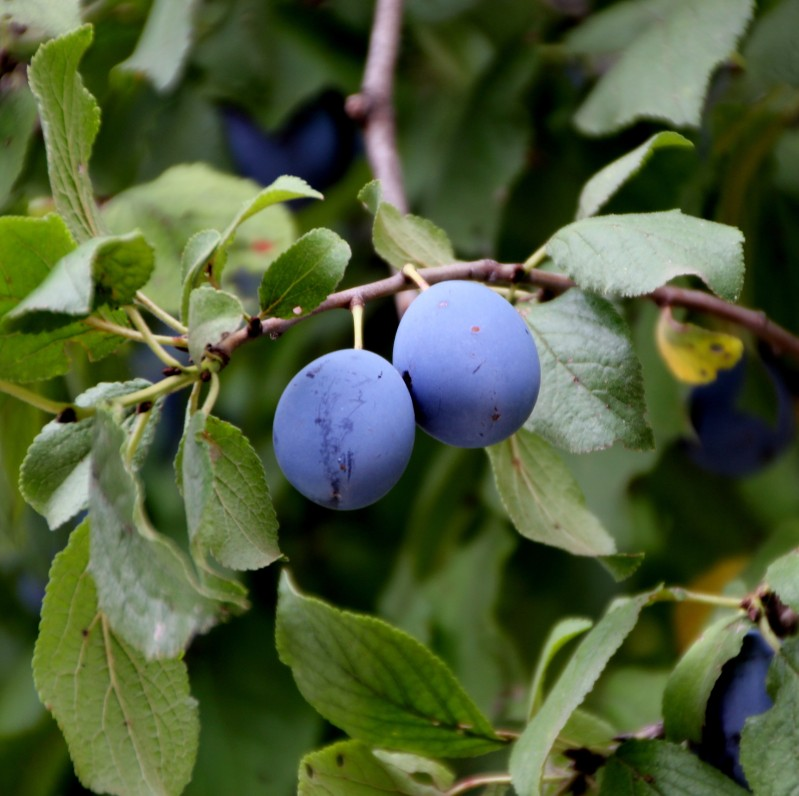 Plums of Thsaghkavan