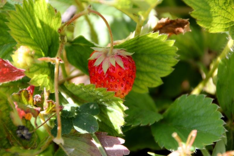 Sevak's strawberry seedlings will earn him $700 three times a year!