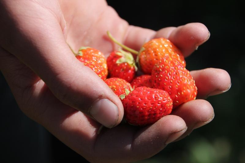 Sevak's strawberries