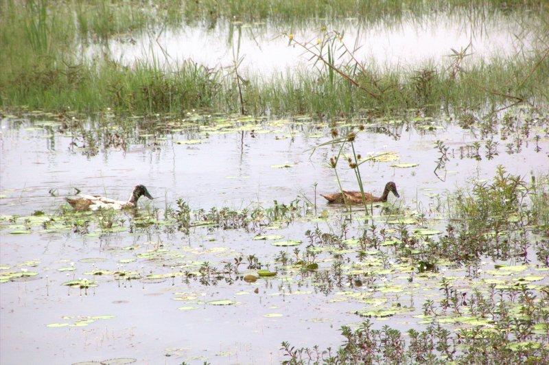 ducks swim