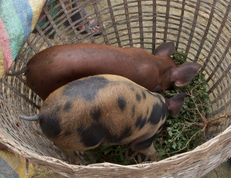 2 chubby pigs, waiting to be Passed On to another needy family.