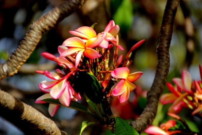 Local frangipani ... glorious!