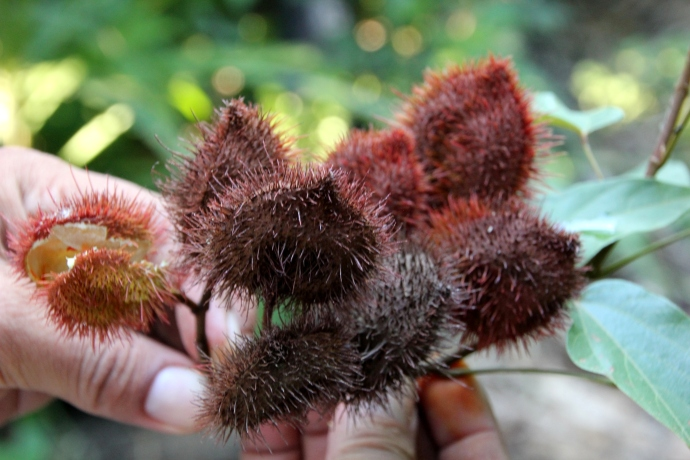 "Achiote, also called the ""lipstick tree"" produces seeds that are used in food coloring."