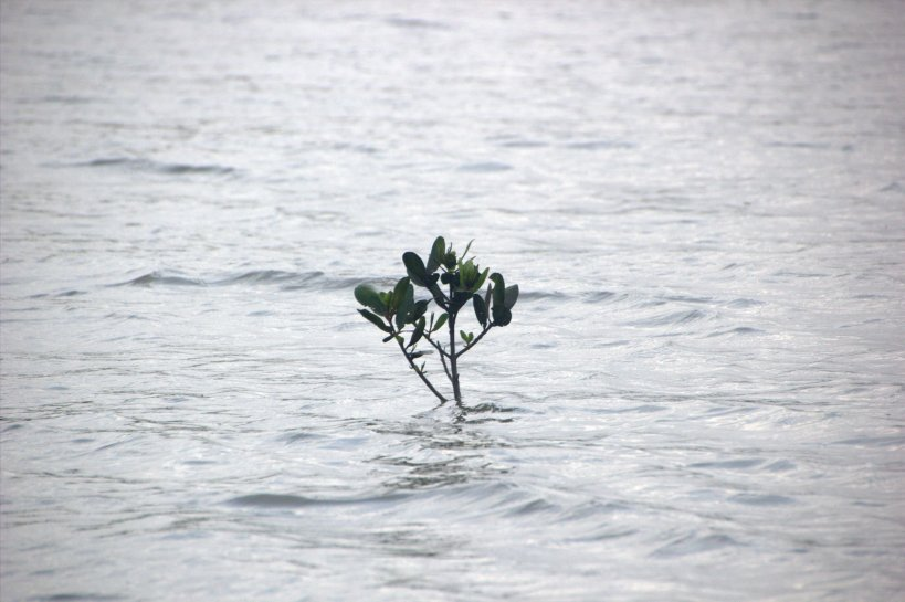 A brave little mangrove sets its roots in the ocean.