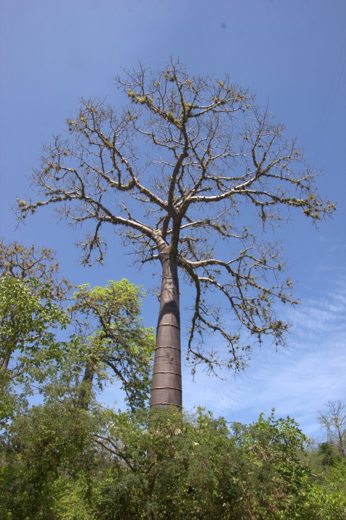 The gigante petrino tree -- cousin to the mighty ceiba!