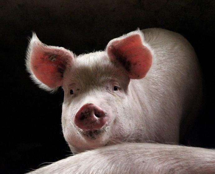 listening pig