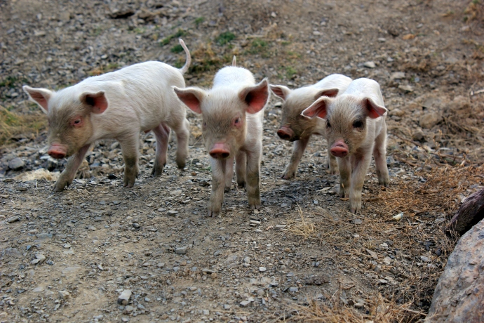 These piglets saw me from across the courtyard and stalked right towards me like a little rock band... such attitude!!