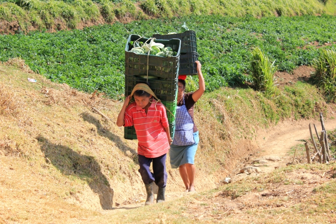 It's hard work picking cabbages, and takes a family to do it.