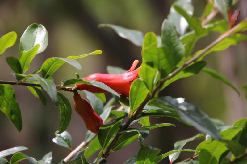 A pomegranate grows in Tzununa.
