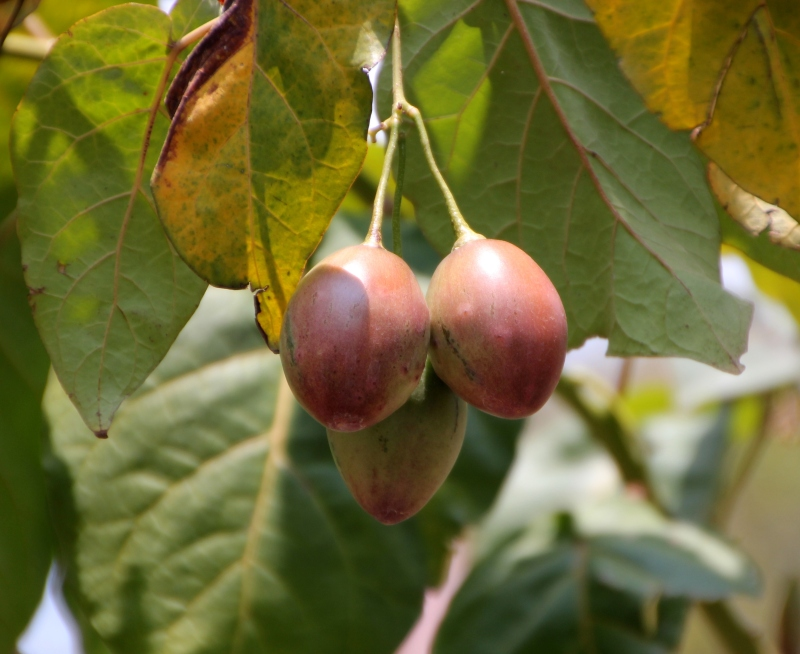 Tree tomatoes
