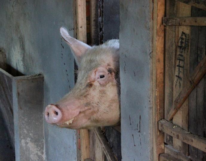 that pig
