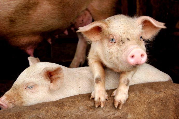 Cute pigs from the CIG Women's project in Douala