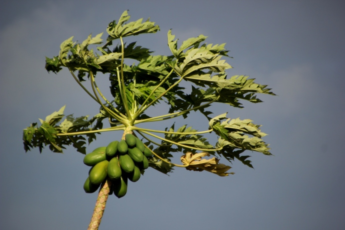 papaya in wind