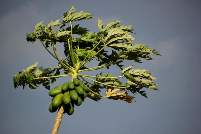 papaya in wind